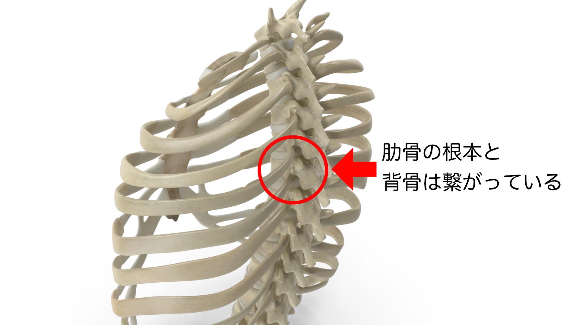肋骨椎体接合部