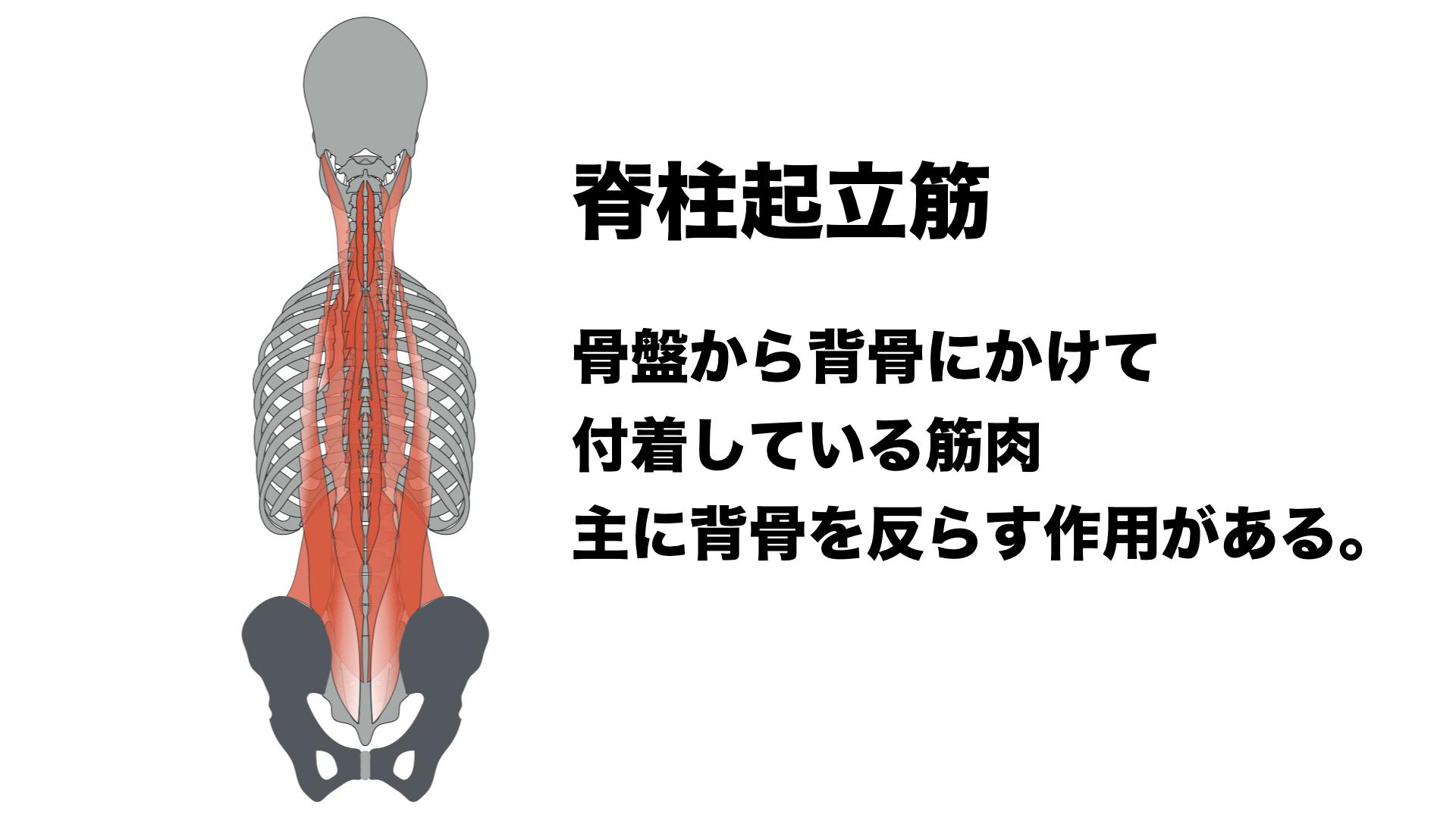 脊柱起立筋解説